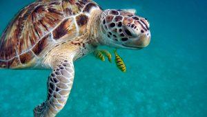 Maledivy potápění, želva